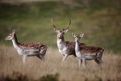Fallow deer, Dama dama Stock Photography