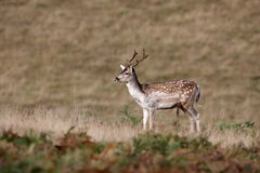 Fallow deer, Dama dama Royalty Free Stock Images