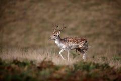 Fallow deer, Dama dama Stock Image