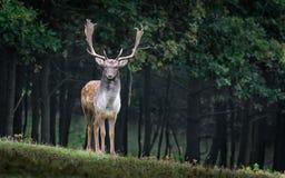Fallow Deer, Dama Dama, Male, Wild Royalty Free Stock Photography