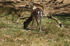 Fallow Deer - Dama dama Royalty Free Stock Images