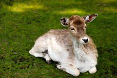 Fallow deer dama dama on the meadow. Photography of nature and wildlife royalty free stock images