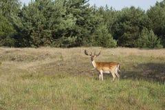 Fallow deer - Dama dama Royalty Free Stock Photo