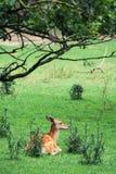 The fallow deer (Dama dama) Stock Photos