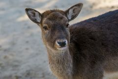 Brown female of fallow deer. The fallow deer Dama dama is a ruminant mammal belonging to the family Cervidae stock photography
