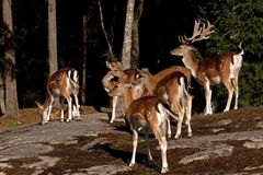 A group of fallow deer, with doe, fawn and buck in a forest in Sweden Royalty Free Stock Photography