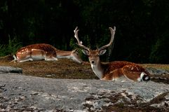 A group of fallow deer, in a forest in Sweden royalty free stock photo