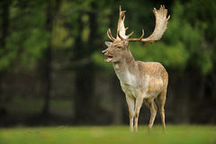 The fallow deer Dama dama stock photo