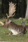 The fallow deer, Dama dama is a ruminant mammal. Belonging to the family Cervidae stock photography