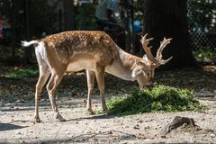 The fallow deer, Dama dama is a ruminant mammal royalty free stock images