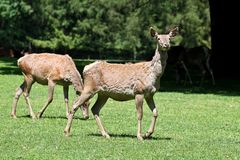 The fallow deer, Dama dama is a ruminant mammal. Belonging to the family Cervidae stock photos