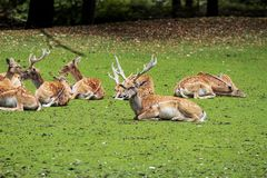 The fallow deer, Dama dama is a ruminant mammal. Belonging to the family Cervidae royalty free stock image