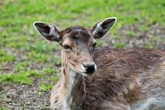 The fallow deer, Dama dama is a ruminant mammal. Belonging to the family Cervidae royalty free stock photos