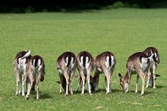 The fallow deer, Dama dama is a ruminant mammal. Belonging to the family Cervidae stock images
