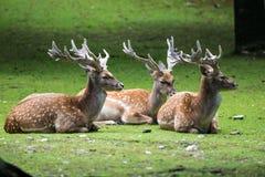The fallow deer, Dama dama is a ruminant mammal. Belonging to the family Cervidae stock photo
