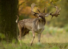 Fallow deer (Dama dama) during the rut Royalty Free Stock Photography