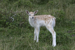 Fallow deer, Dama dama, Stock Photos