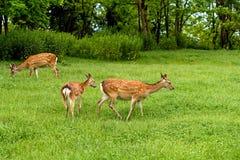 Fallow deer (Dama dama) Royalty Free Stock Photography