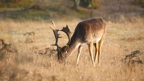 Fallow deer Dama Dama stag grazing in a meadow. stock footage
