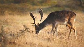 Fallow deer Dama Dama stag grazing in a meadow. stock video footage