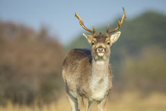 Fallow deer Dama Dama stag grazing in a meadow. Royalty Free Stock Photos