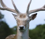 Fallow Deer / Dama dama Stag head and face looking forward with eyes close. Fallow Deer / Dama dama stag, head and face portrait with eyes closed and looking royalty free stock images