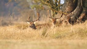 Fallow deer Dama Dama stag resting and grazing stock footage