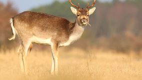 Fallow deer Dama Dama stag resting and grazing stock video footage