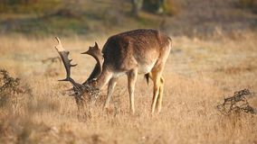 Fallow deer Dama Dama stag resting and grazing stock video