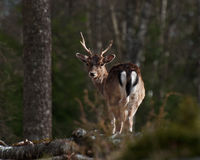 Fallow deer dama dama Stock Photo