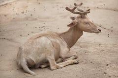 Fallow deer Dama dama. Stock Photos