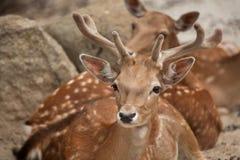 Fallow deer Dama dama. stock images