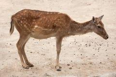 Fallow deer Dama dama. Royalty Free Stock Photo