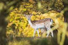 Fallow deer Dama Dama doe, hind or fawn in Autumn