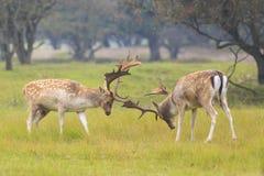 Fallow deer, Dama Dama, fighting during rutting season. Two large Fallow Deer stags, Dama Dama, fighting during rutting season on a green natural meadow stock photos