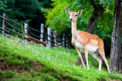 Fallow deer, Dama dama, closeup on deer farm in Olimje, Slovenia. Fallow deer, Dama dama, grasing on meadow, closeup on deer farm in Olimje, Slovenia royalty free stock photos