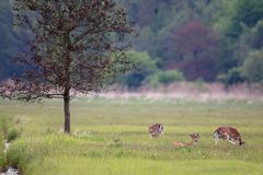 Fallow Deer Dama dama. A group of Fallow Deer Dama dama resting in the high grass in a nature protection area near Frankfurt, Germany, Europe royalty free stock photo