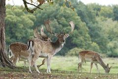 Fallow deer Dama dama. Fallow deer in its natural habitat in Denmark stock photos