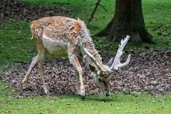 The fallow deer, Dama mesopotamica is a ruminant mammal. Belonging to the family Cervidae stock photography