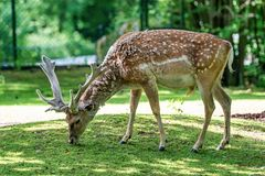 The fallow deer, Dama mesopotamica is a ruminant mammal. Belonging to the family Cervidae royalty free stock photography