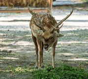 The fallow deer, Dama dama is a ruminant mammal. Belonging to the family Cervidae stock image