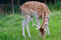 The fallow deer Dama dama. Is a ruminant mammal belonging to the family Cervidae. This common species is native to Europe. ÅšwiÄ…tkowa Wielka, Poland, Low royalty free stock image