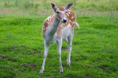 The fallow deer Dama dama. Is a ruminant mammal belonging to the family Cervidae. This common species is native to Europe. ÅšwiÄ…tkowa Wielka, Poland, Low stock photos