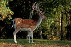 A big and beautiful 5 years male buck of Fallow deer in wood in Sweden. The fallow deer, Dama dama is a ruminant mammal belonging to the family Cervidae. This stock photo