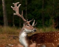 A big and beautiful 5 years male buck of Fallow deer in wood in Sweden. The fallow deer, Dama dama is a ruminant mammal belonging to the family Cervidae. This royalty free stock images