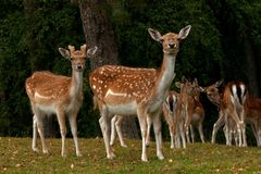 A group of fallow deer, with doe, fawn and buck in a forest in Sweden. The fallow deer, Dama dama is a ruminant mammal belonging to the family Cervidae. This stock photo