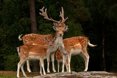 A group of fallow deer, with doe, fawn and buck in a forest in Sweden. The fallow deer, Dama dama is a ruminant mammal belonging to the family Cervidae. This stock photography