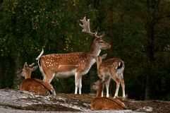 A group of fallow deer, with doe, fawn and buck in a forest in Sweden Stock Photography