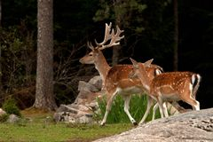 A group of fallow deer, in a forest in Sweden royalty free stock image