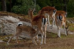 A famale doe of Fallow deer suckling one young fawn in Sweden. The fallow deer, Dama dama is a ruminant mammal belonging to the family Cervidae. This common stock image